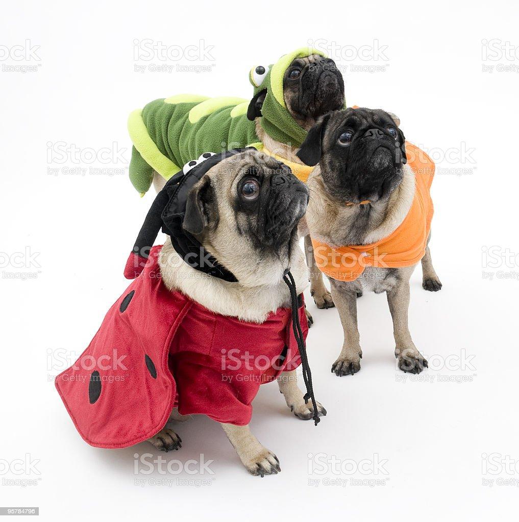 Three Halloween Pugs Ready for a Treat stock photo