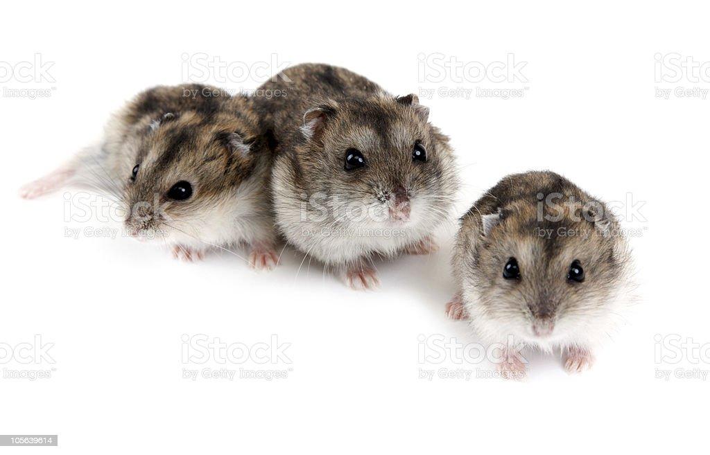 Three hamsters royalty-free stock photo