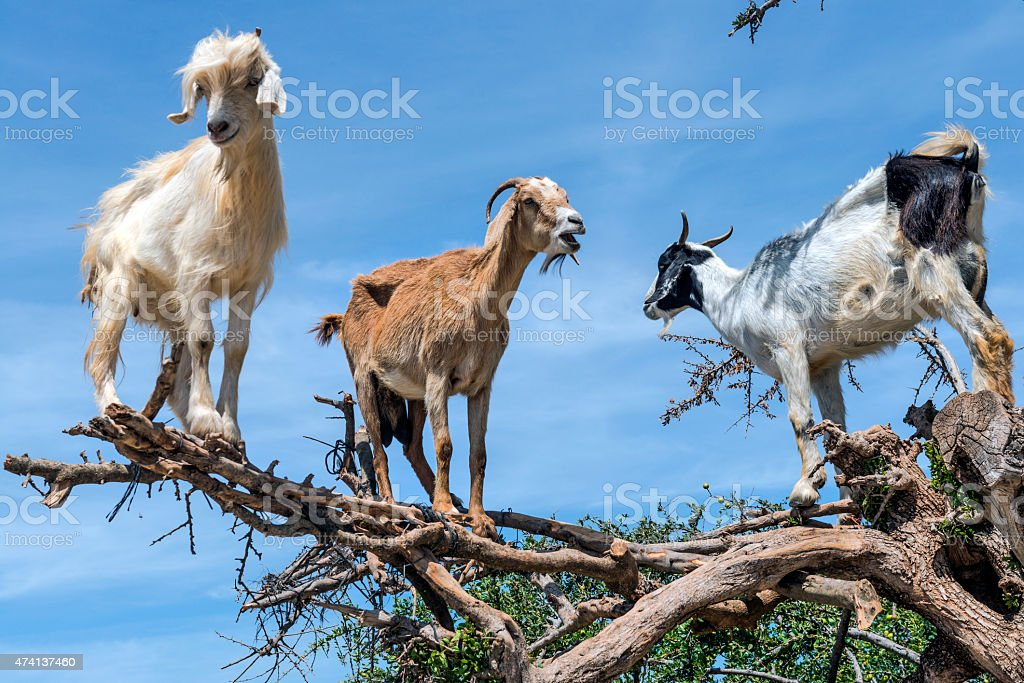 Three Happy Goats on the Argan Tree, Morocco, Northern Africa stock photo