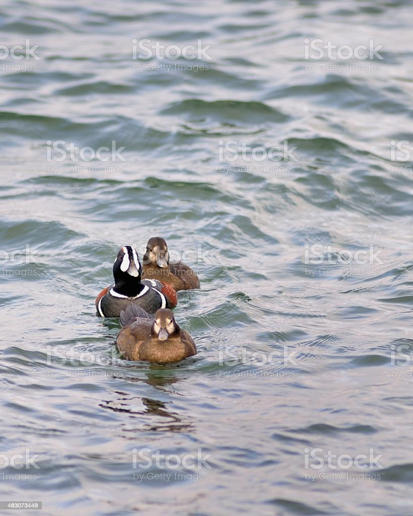 Three Harlequin Ducks In A Row stock photo