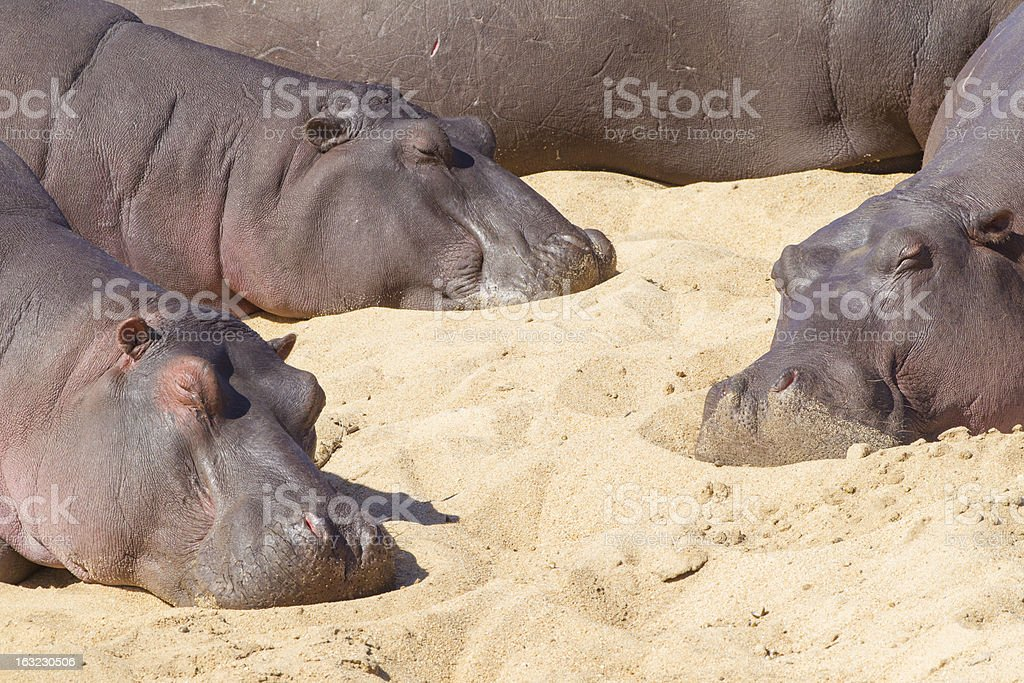 Three Hippos resting, South Africa (Hippopotamus amphibius) royalty-free stock photo