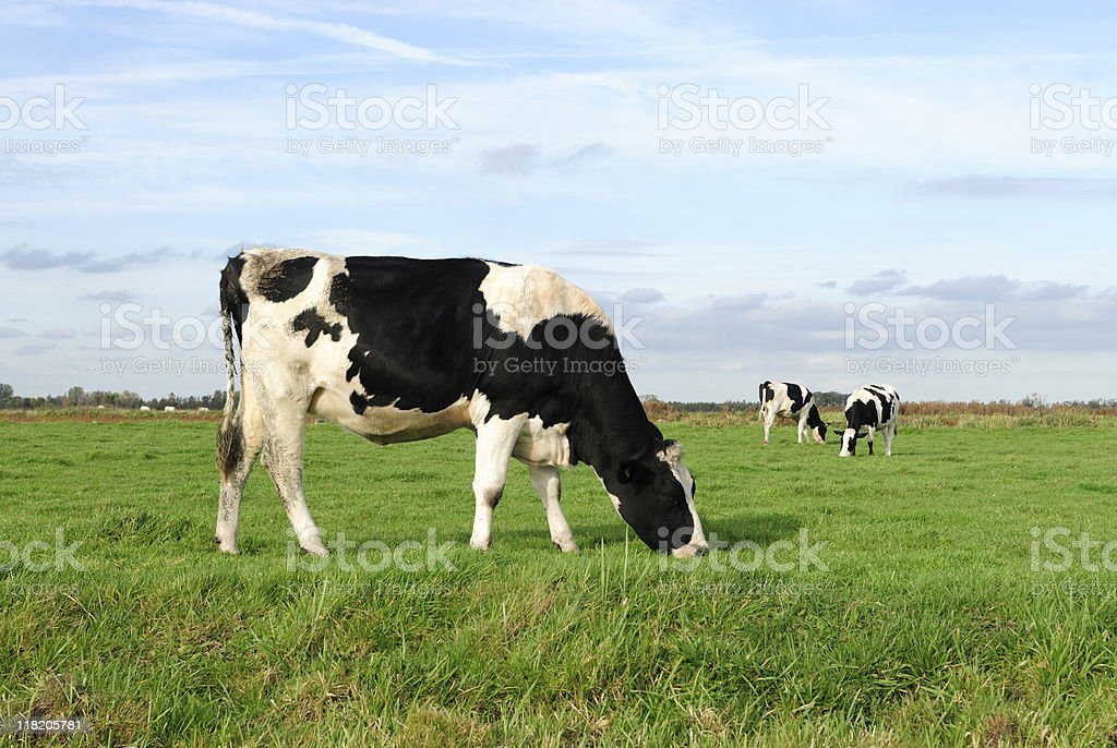 Three Holstein cows grazing in a green meadow stock photo