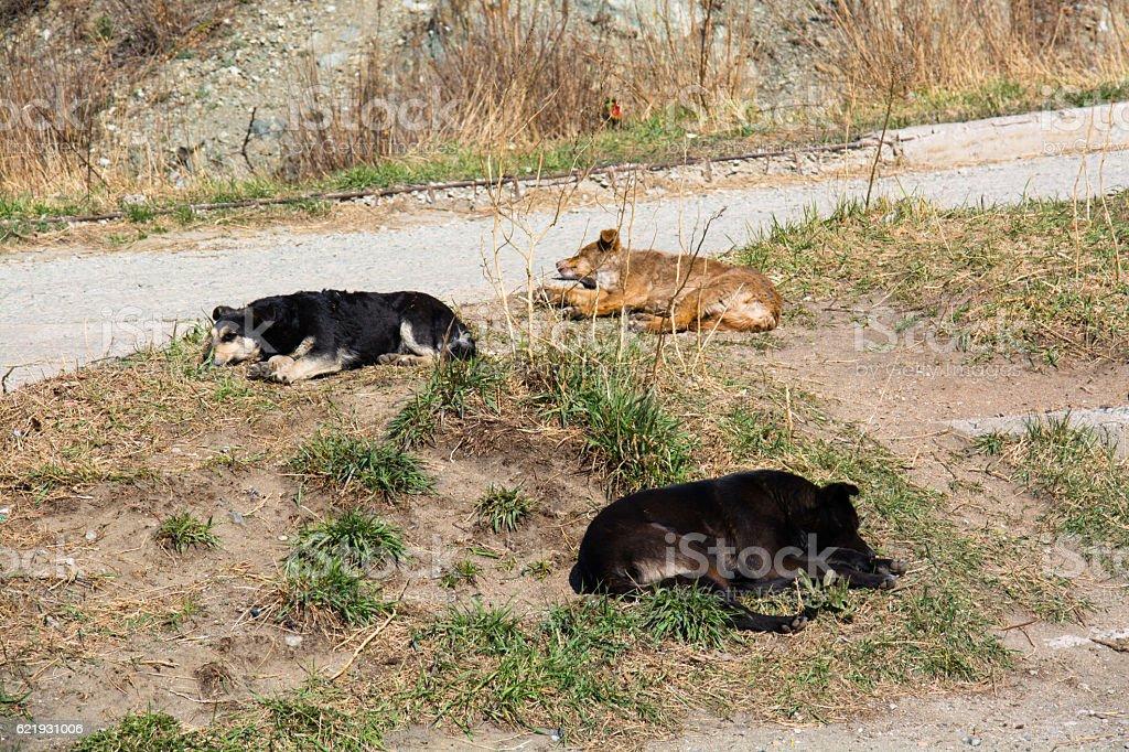 Three homeless mongrel sleeping at wasteland. stock photo