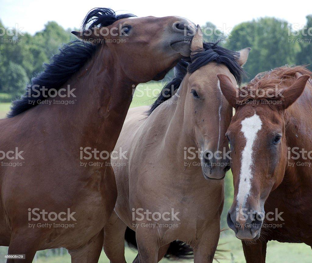 Three horses royalty-free stock photo