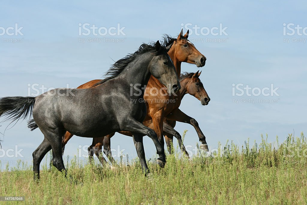 Three horses running stock photo