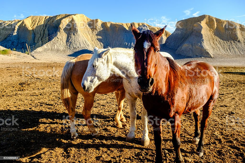 three horses stand idle in the late afternoon sun stock photo