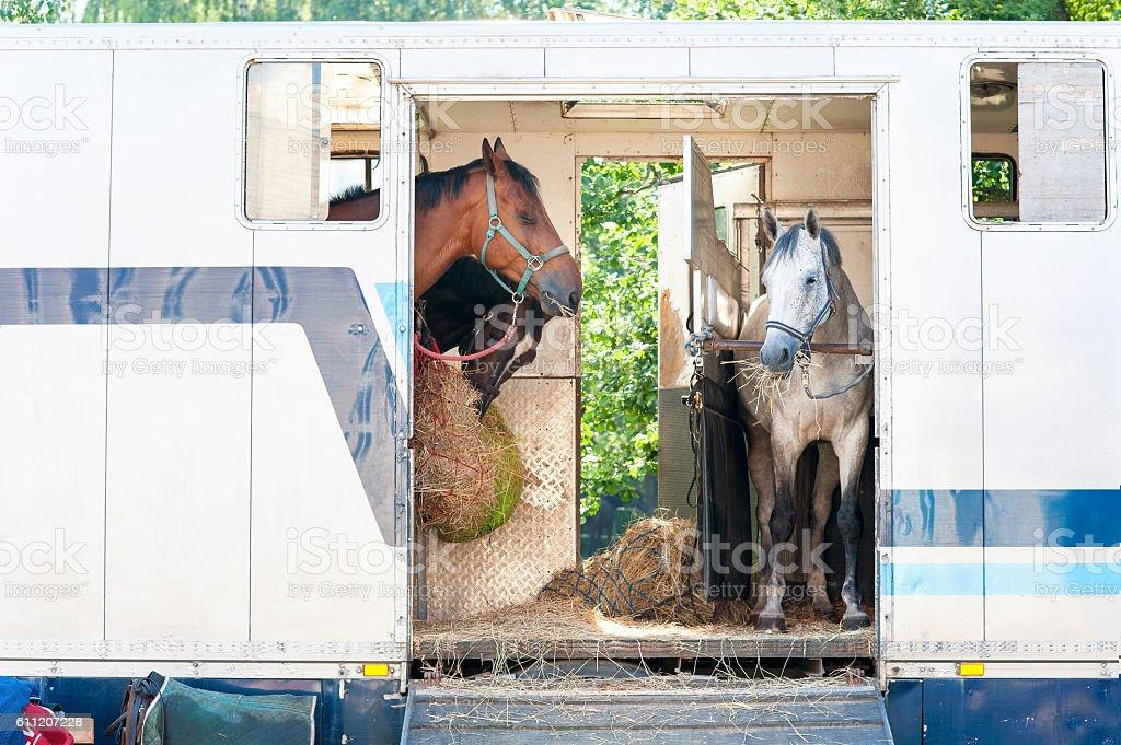 Three horses standing in trailer. stock photo