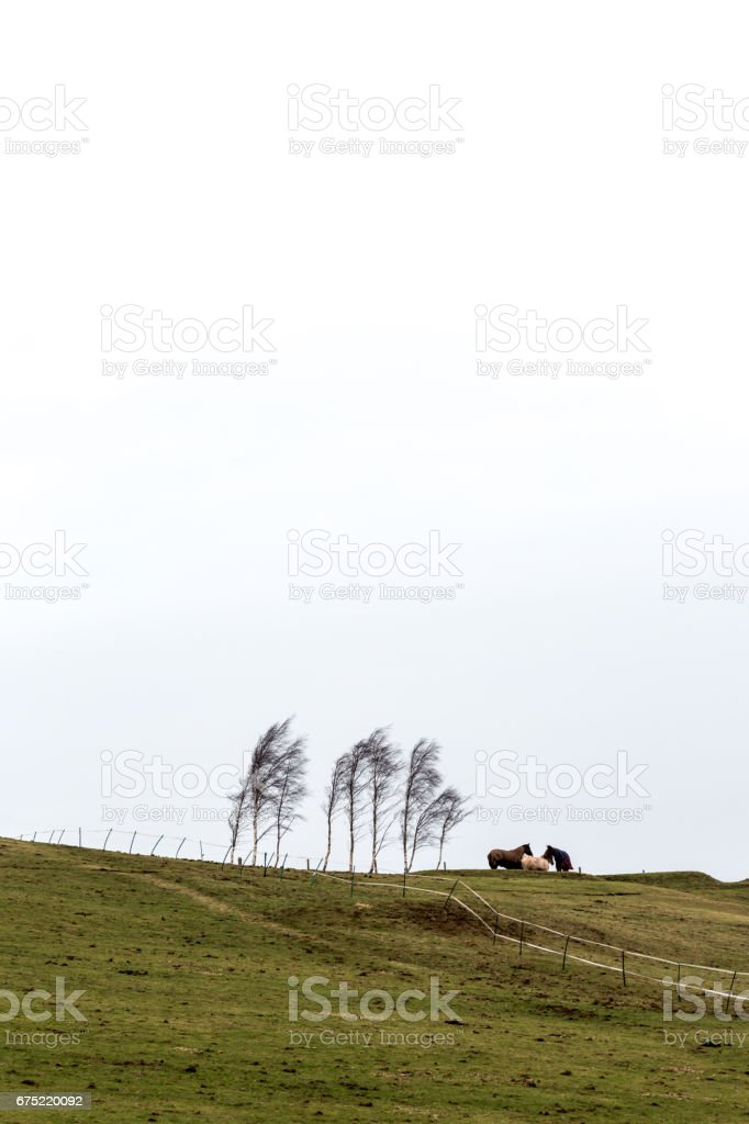 Three horses standing on hill next to birch trees in cold windy weather. stock photo