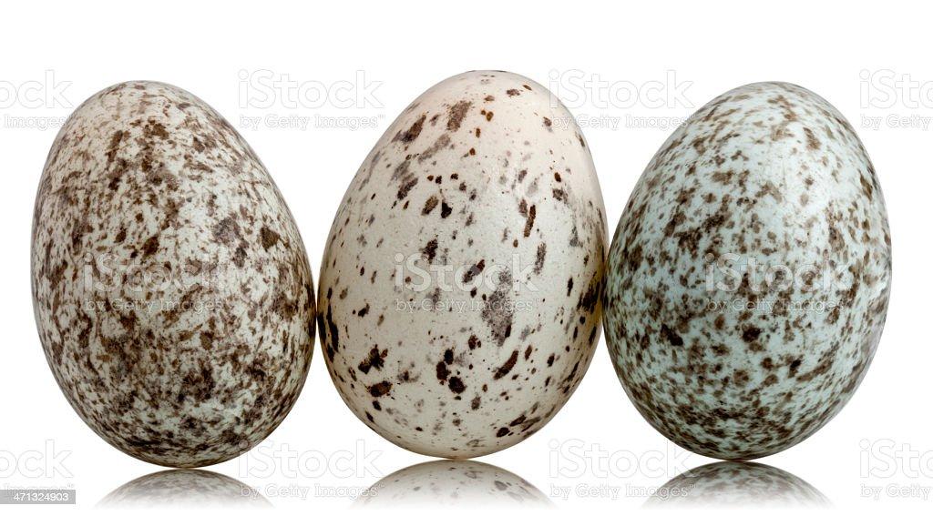 Three House Sparrow eggs, Passer domesticus, white background. stock photo