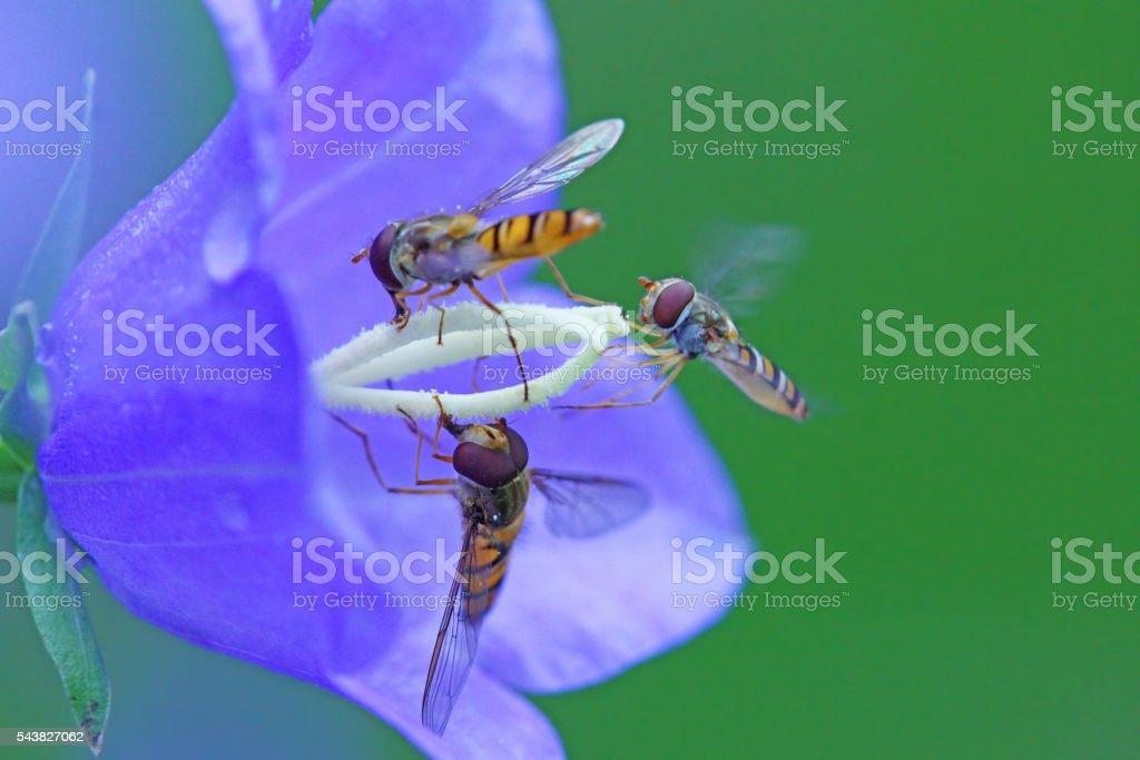 Three hover fly`s stock photo