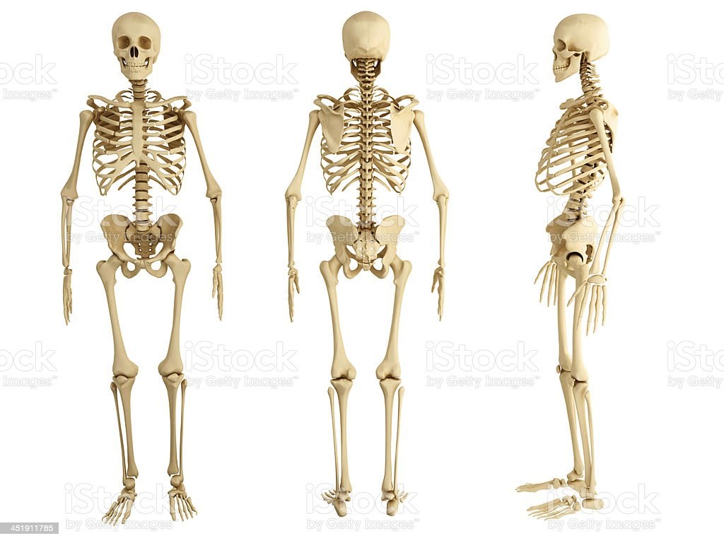 Three human skeletons facing in different directions stock photo