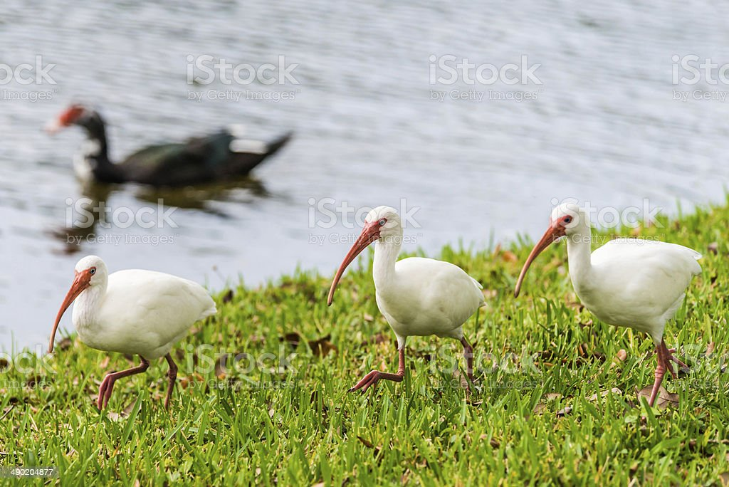 Three Ibis Marching with Duck in the Background stock photo