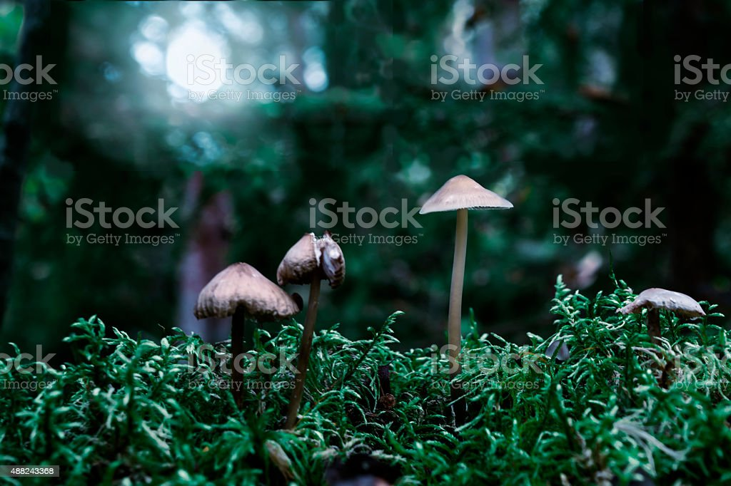 Three inedible mushroom in the moonlight at mystical style stock photo