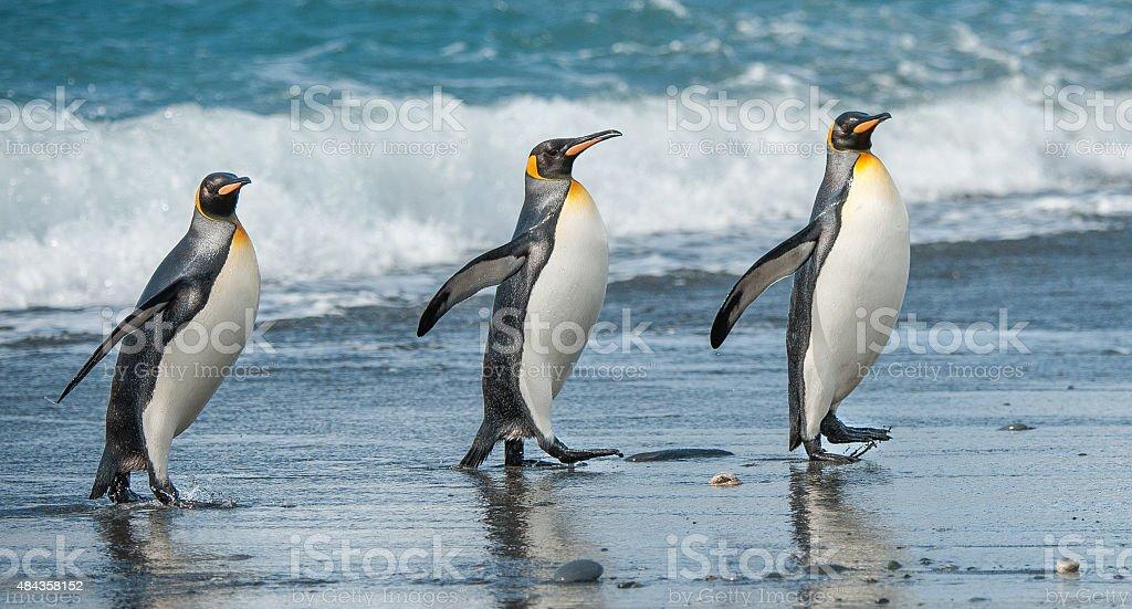 Three King Penguins beach walking in South Georgia stock photo