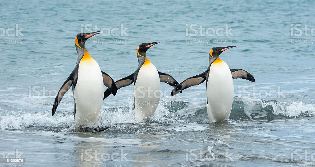 Three King Penguins in the sea of South Georgia stock photo