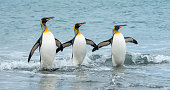 Three King Penguins in the sea of South Georgia