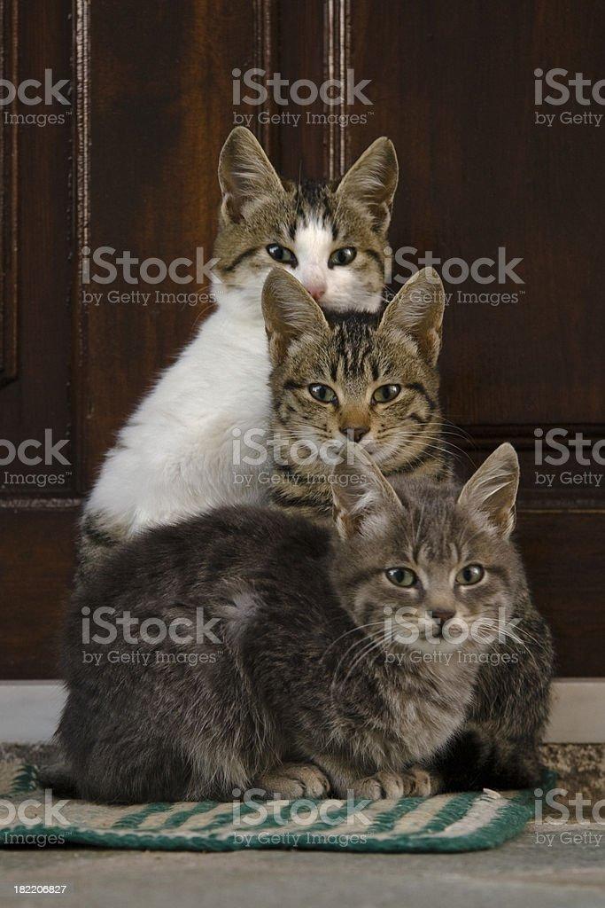 Three kittens royalty-free stock photo