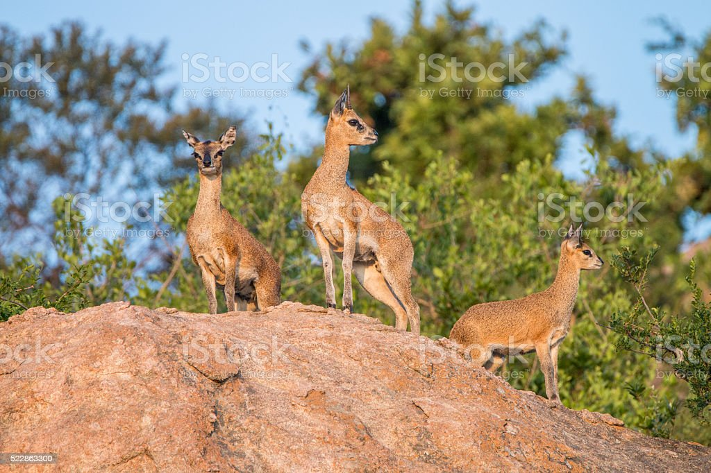 Three Klipspringer on the rocks in the Kruger National Park. stock photo