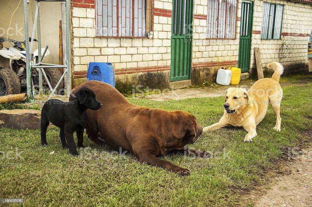 Three Labradors Playing royalty-free stock photo