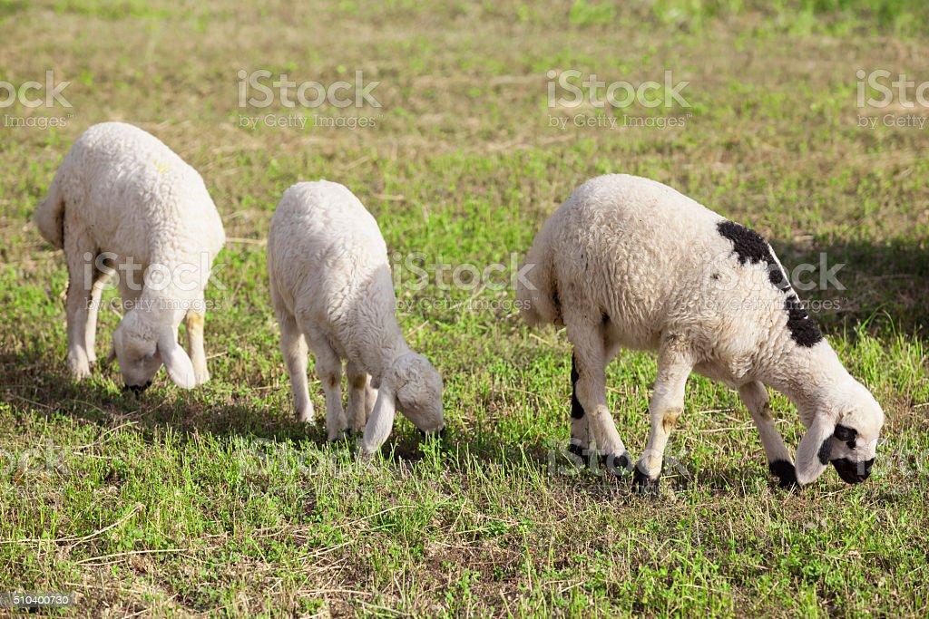 Three lambs herding in meadow stock photo