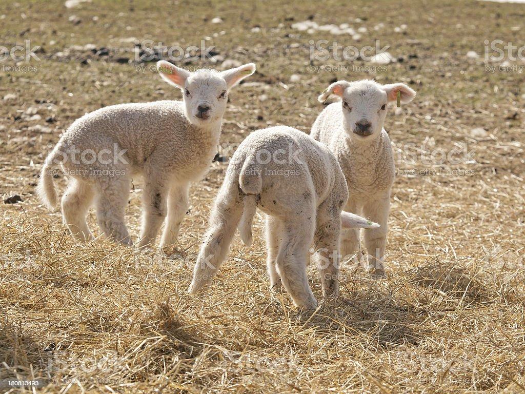 Three lambs royalty-free stock photo