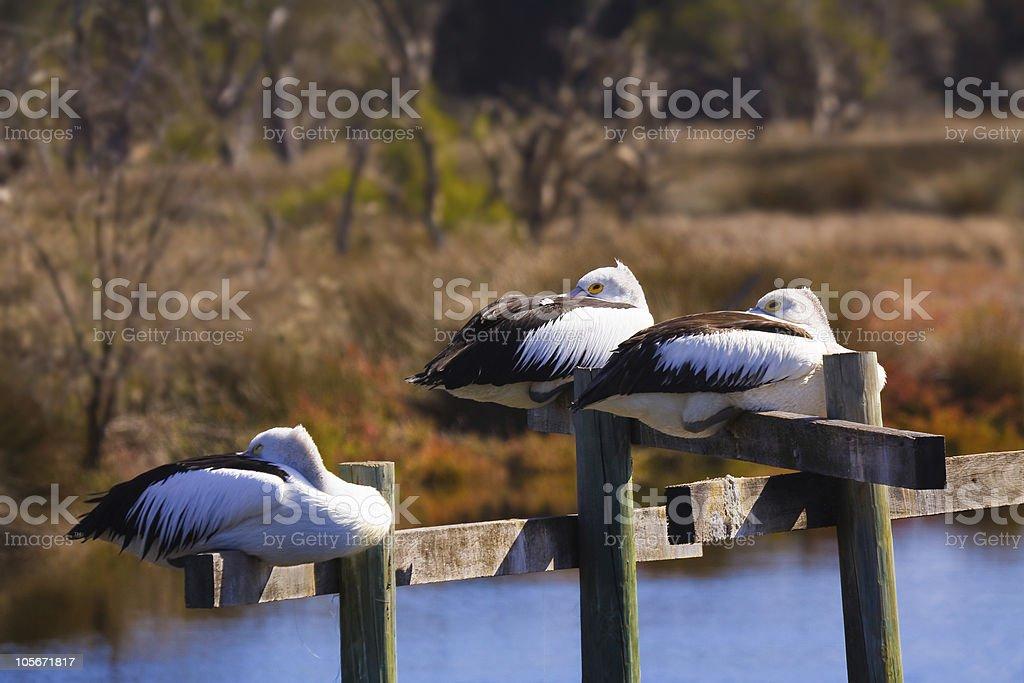Three Lazy Pelicans royalty-free stock photo