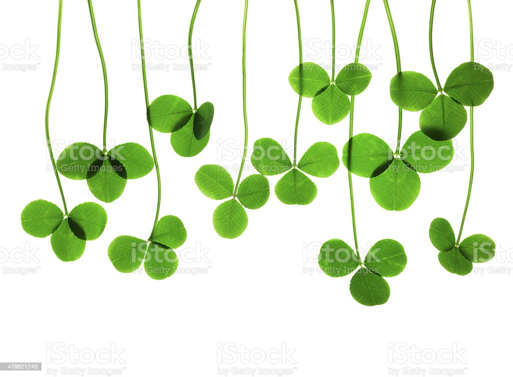 Three leaf clover stock photo