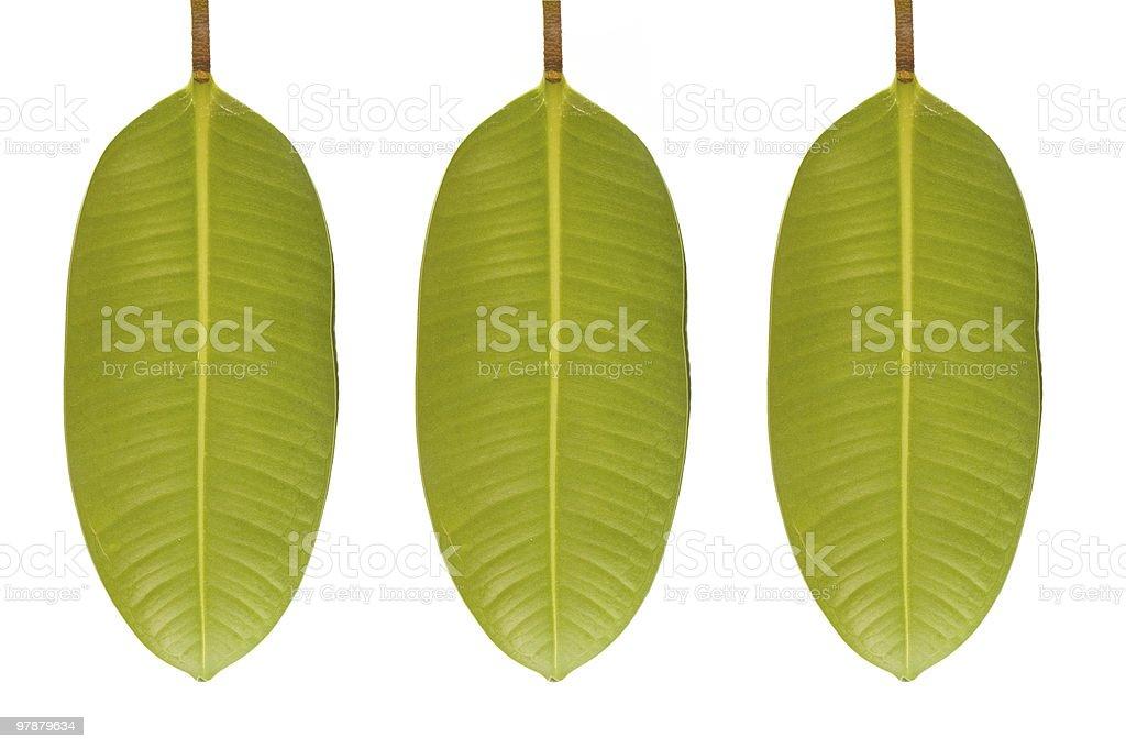 Three leaves on white stock photo