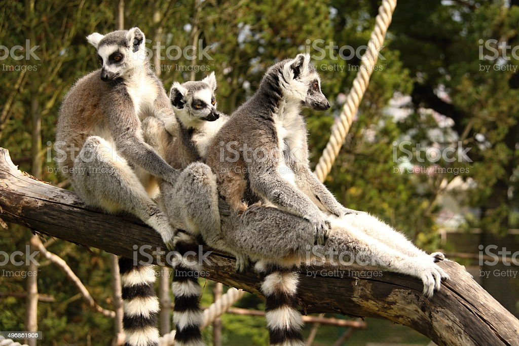 Three lemurs holding each other stock photo