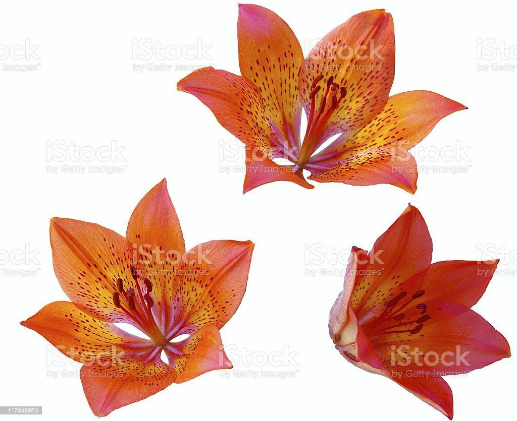 Three lilies. royalty-free stock photo