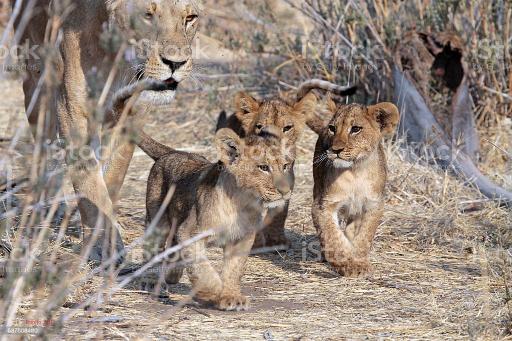 Three lion cubs walking with their mother stock photo