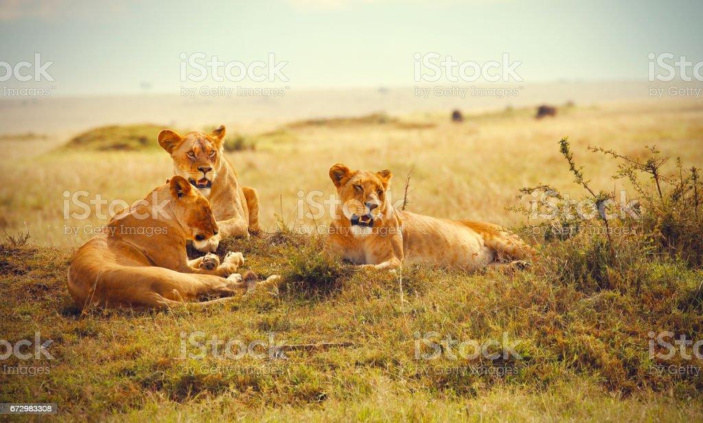 Three lionesses resting in Masai Mara Reserve stock photo