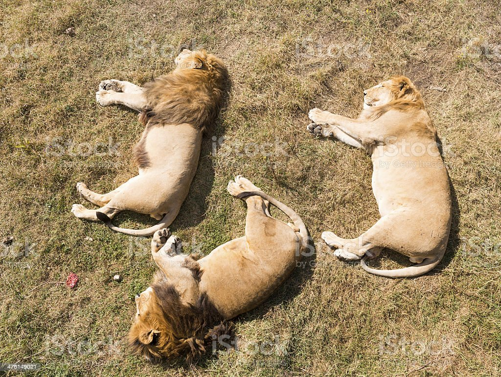 Three lions sleeping royalty-free stock photo