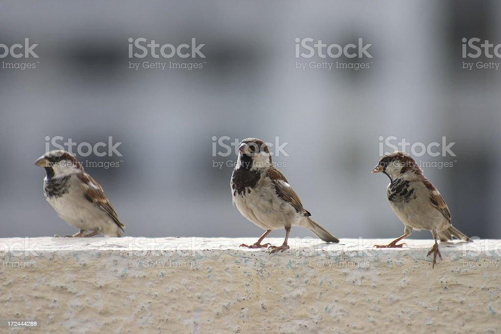 Three little Birdies royalty-free stock photo