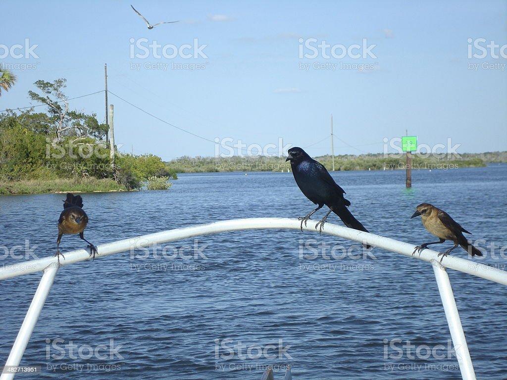 Three Little Birds Hitchhiking royalty-free stock photo