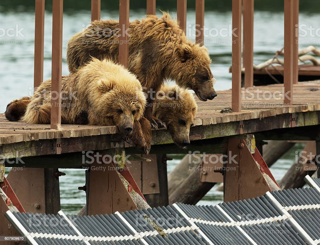 Three little brown bear cub on fence to account for stock photo