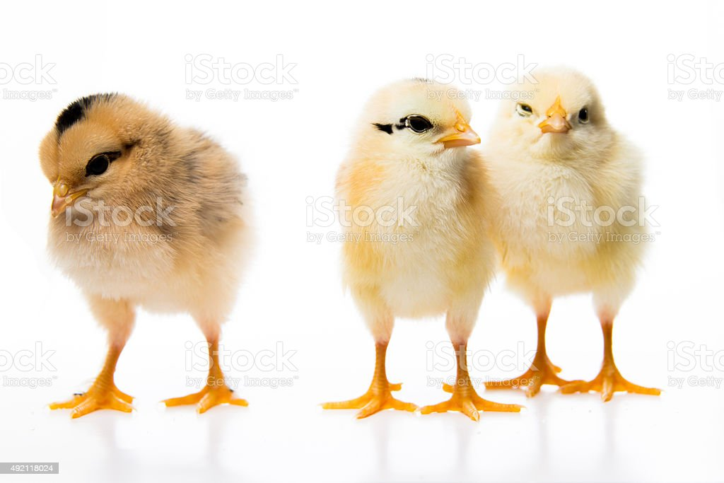 three little chickens stock photo