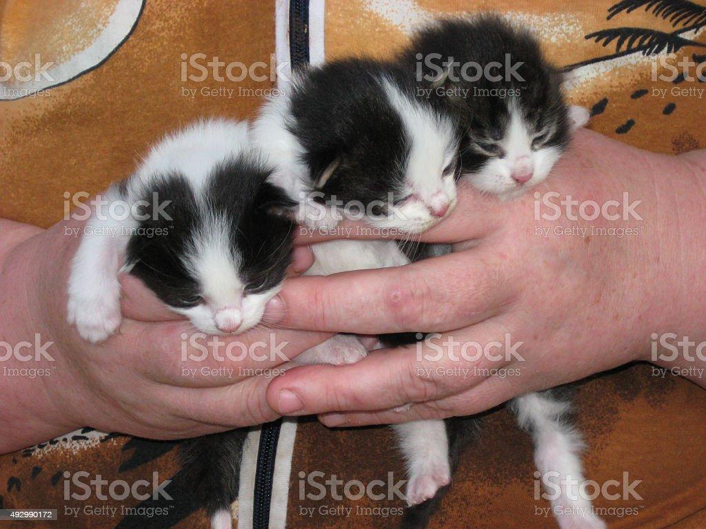 three little kittens in hands stock photo