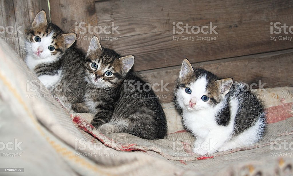 three little kittens sitting on the carpet royalty-free stock photo