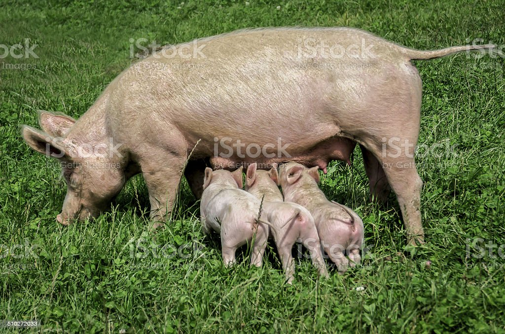 three little pigs feeding from there mum, colour image stock photo