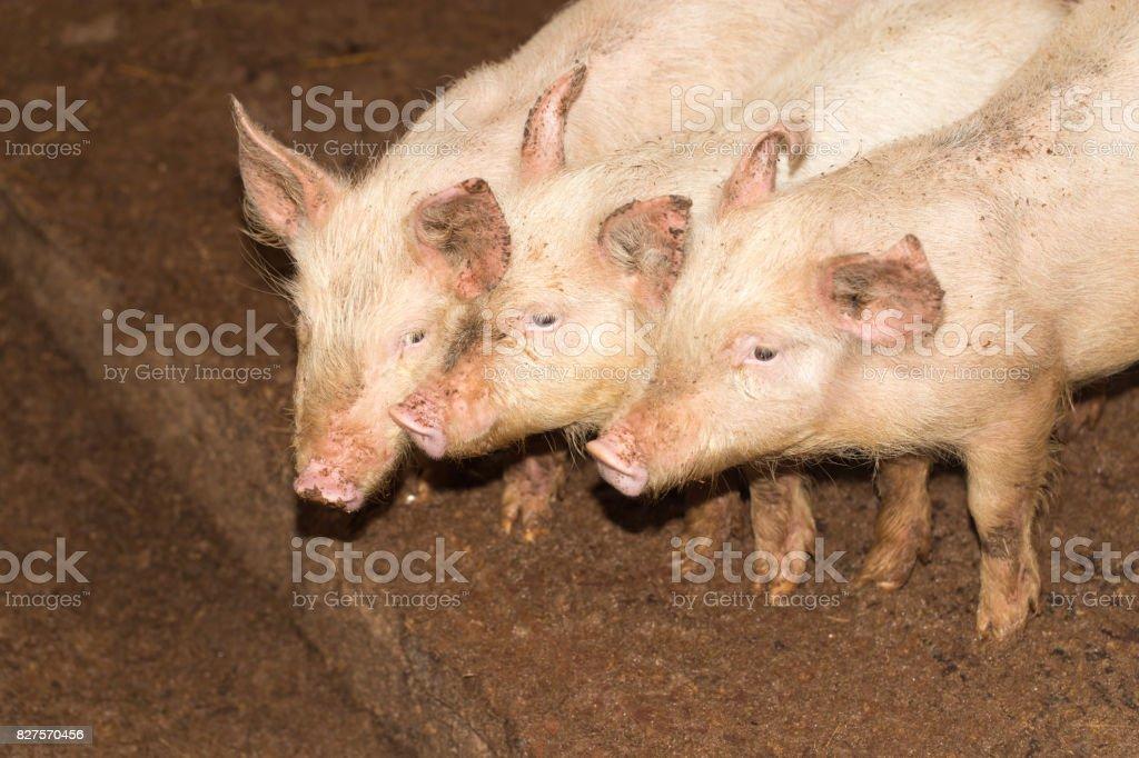 three little pigs on the farm stock photo