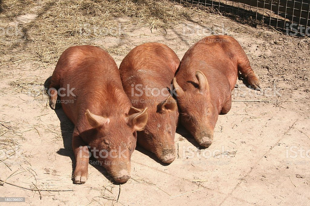 Three Little Pigs royalty-free stock photo