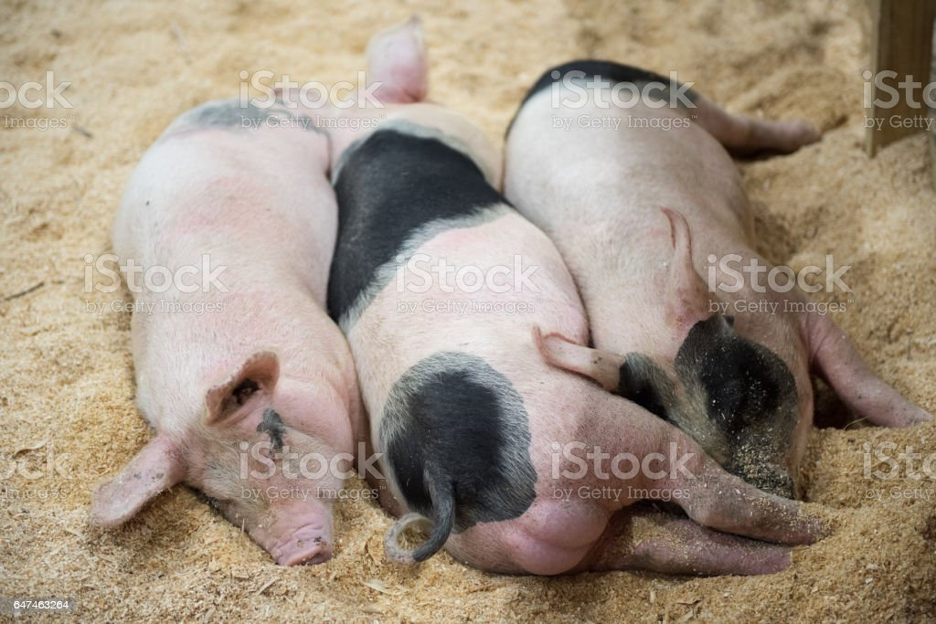 Three Little Pigs sleeping stock photo