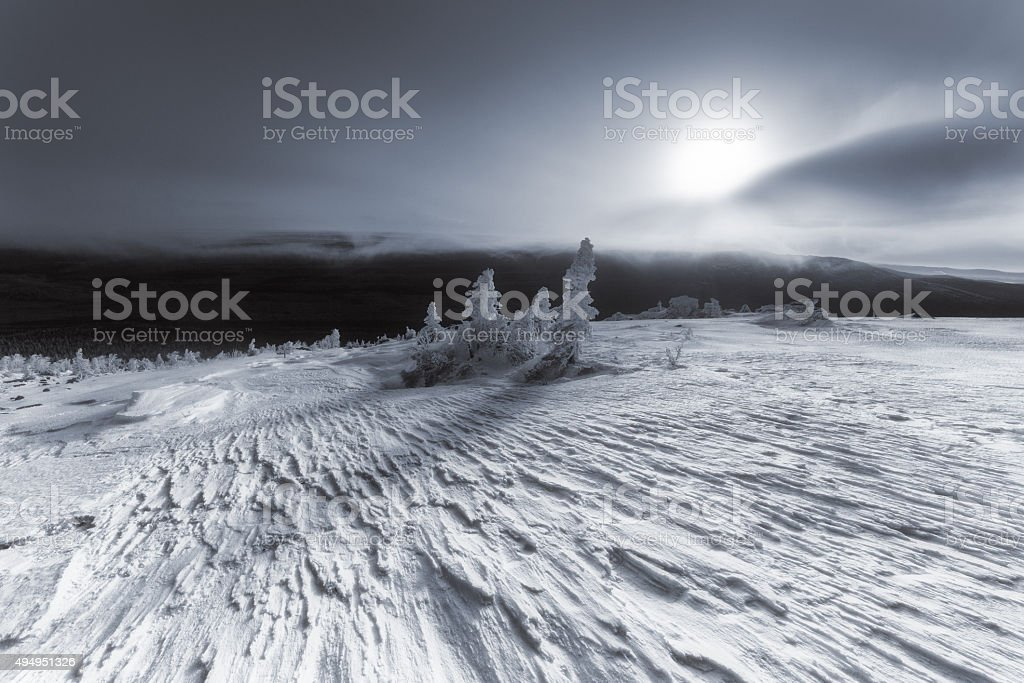 Three lone pine in frost in the moonlight. stock photo