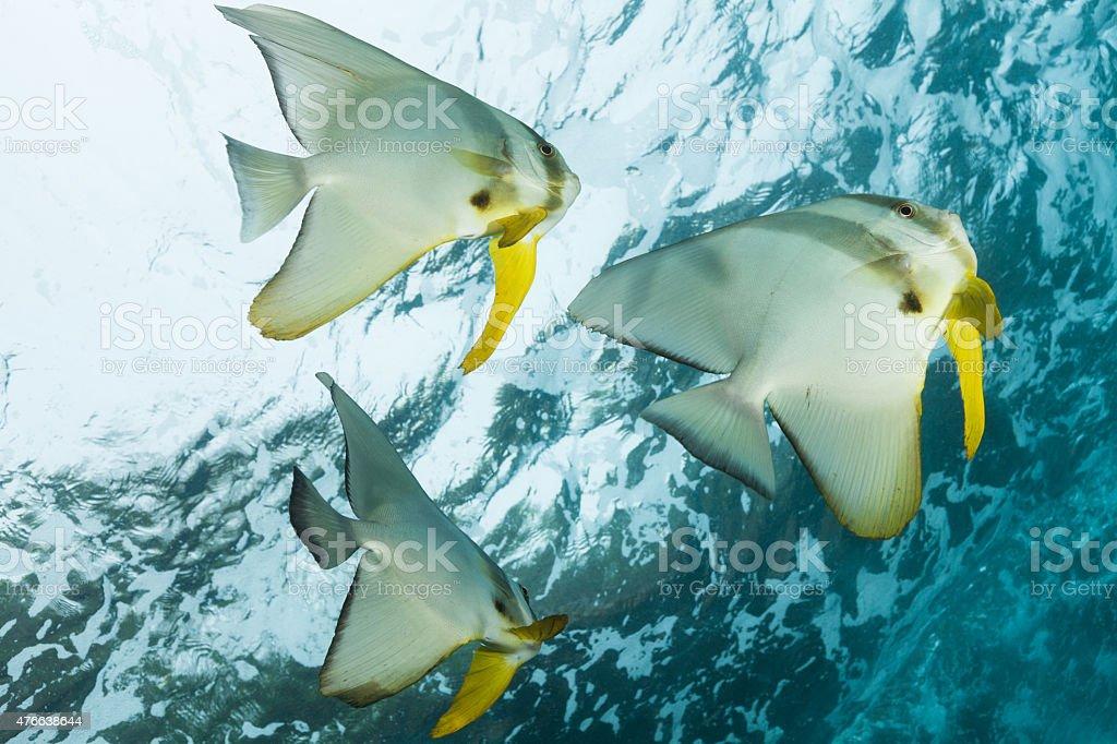 Three Longfin Batfishes Near Surface, Outer Reef, Raja Ampat, Indonesia stock photo