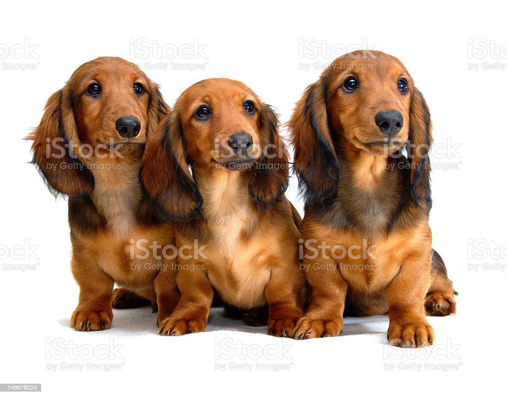 Three longhair dachshund puppies royalty-free stock photo