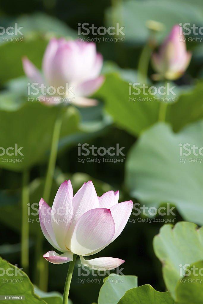 Three Lotus Flowers stock photo