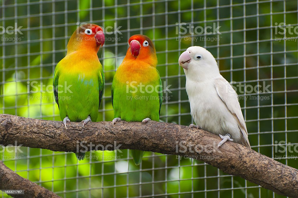 Three lovebirds birds on a branch, green and white colored royalty-free stock photo
