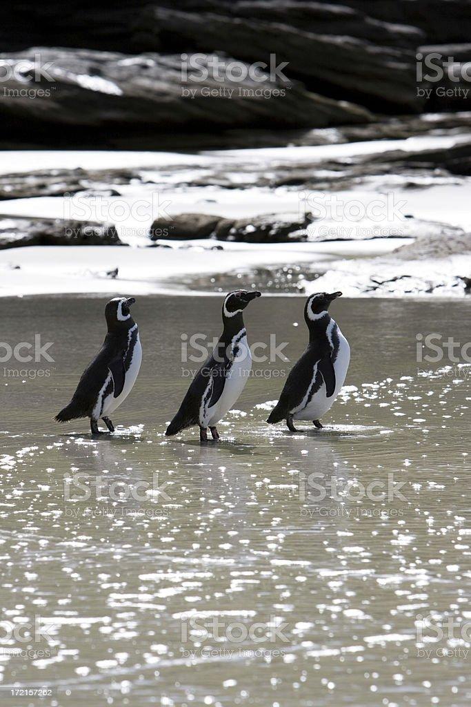 Three Magellan Penguins stock photo