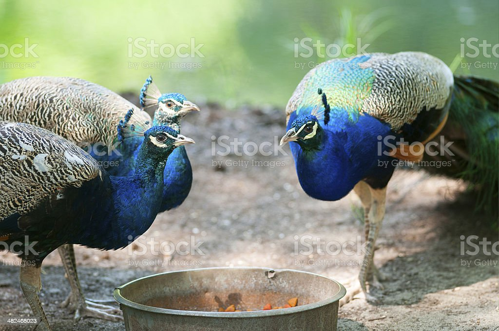 Three male peacocks sharing a meal. royalty-free stock photo